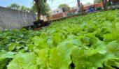 พืชผักสวนครัวในวัด Temple garden