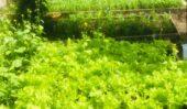 Update vegetables garden at temple
